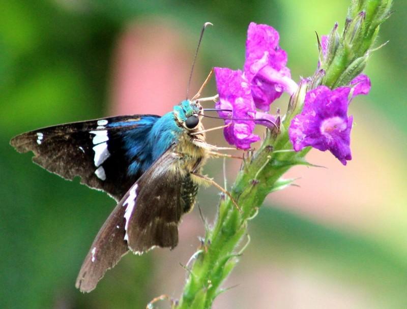 mariposas7
