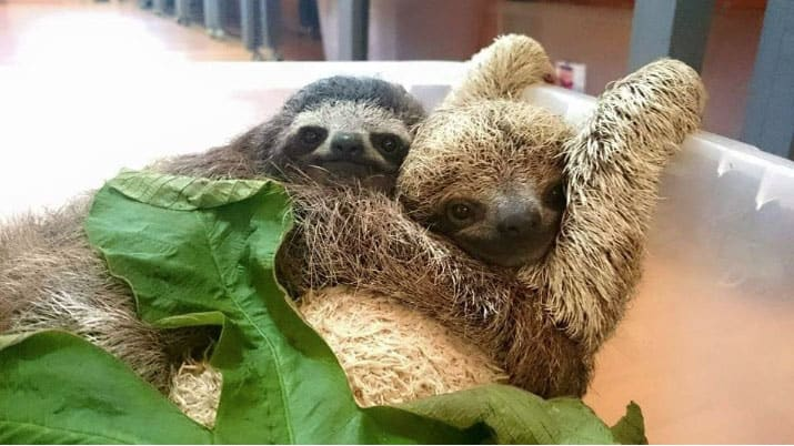 1-baby-sloths-costa-rica