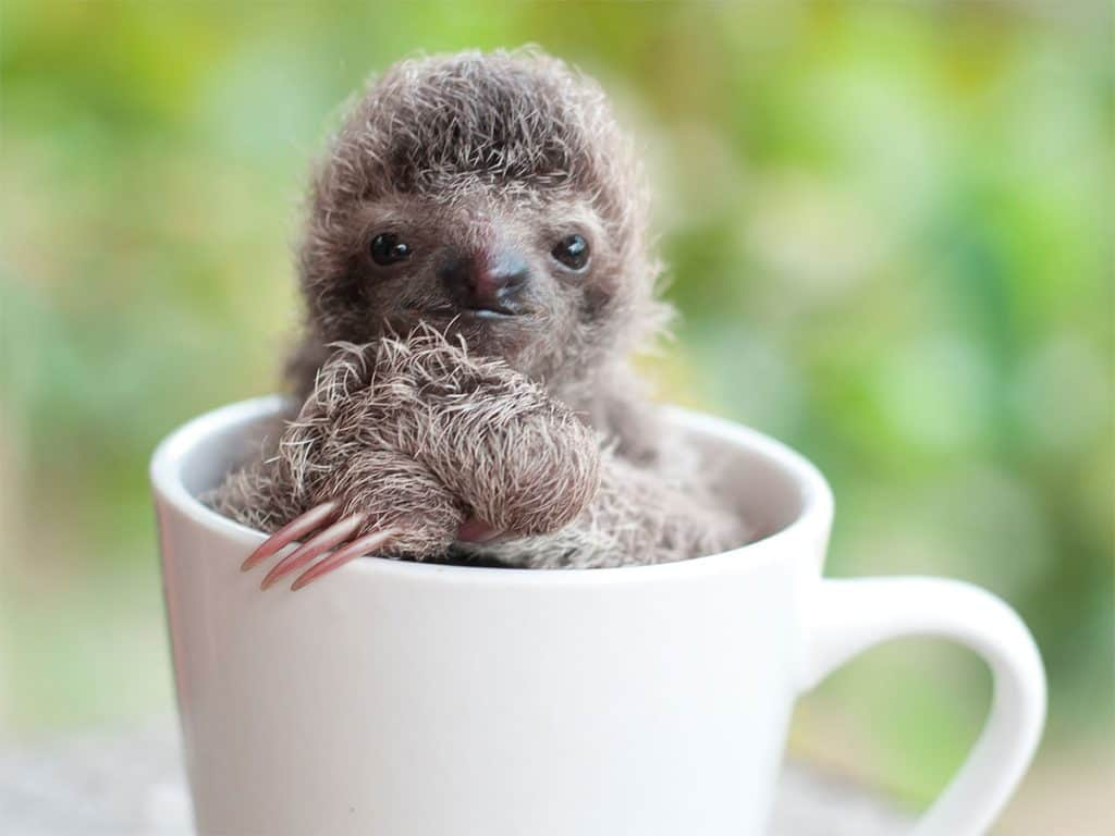 costa-rica-sloth-baby