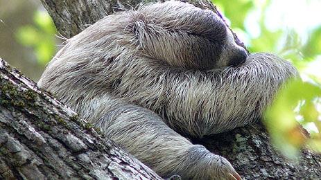manuel-antonio-sloths