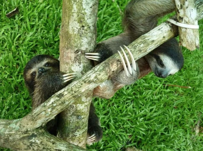 sloth-playing-costa-rica
