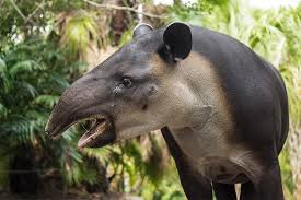 bairds-tapir-costa-rica