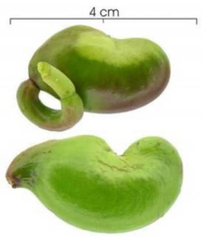 rabito-cashew-espave-Costa-Rica