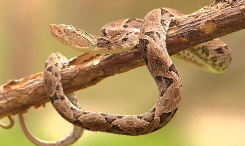 terciopelo-costa-rica-snake